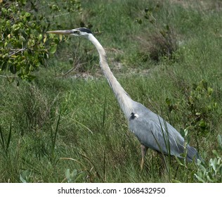 Great blue heron with long neck and yellow beak is standing in green grassy wetlands.