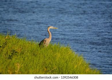Great Blue Heron looking over Okeechobee Lake in Okeechobee County, Okeechobee, Florida USA