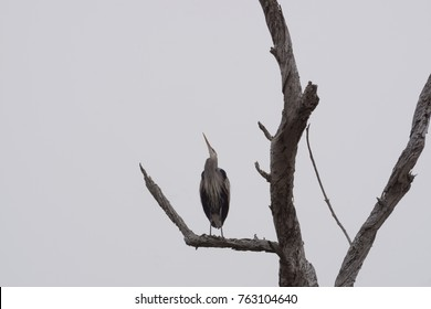 Great Blue Heron looks up to the sky, never hurts to look up.