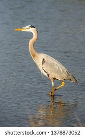 Great blue heron moves slowly though the water hunting for fish