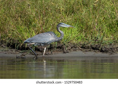 A Great Blue Heron on the banks of the Delaware River on the border of New Jersey and Pennsylvania