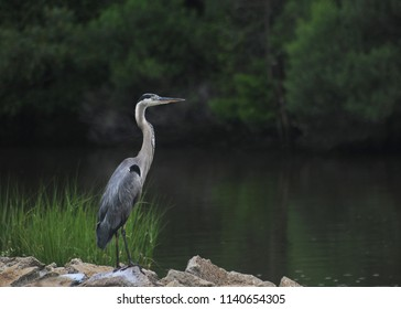 Great Blue Heron on Riprap