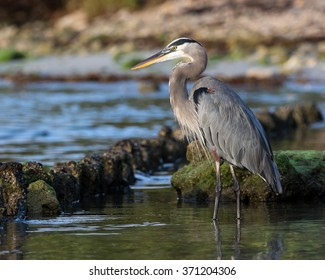 Great Blue Heron on Shore line