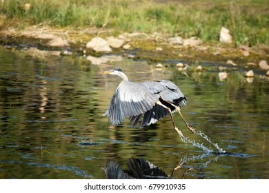 Great blue heron on takeoff takes flight on greenish lake leaving splashes of water droplets from feet.
