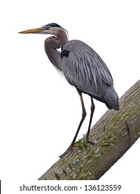 Great Blue Heron on Tree with white background