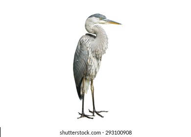 Great Blue Heron on White Background, Isolated