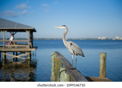 Great Blue Heron, on wooden pier in Indialantic, Florida (USA) looking for food.