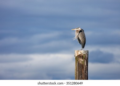 Great Blue Heron on Wooden Pole