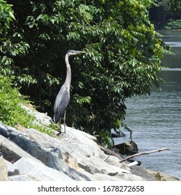 Great blue heron perched along the banks of the Chesapeake Bay in Maryland.