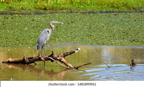 Great Blue Heron perched on a branch in the marsh