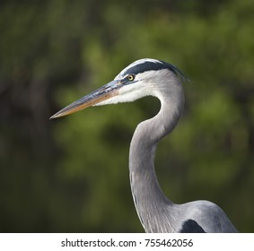 Great Blue Heron portrait close up against a blurred light and dark green blurred background.