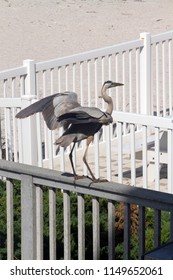 A Great Blue Heron prepares to take flight from a deck railing on the beach in Indian Rocks, Florida by the Gulf of Mexico