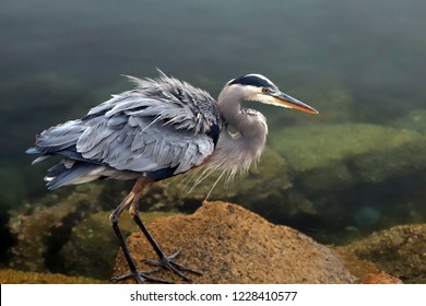 Great Blue Heron ruffling feathers before flight at Morro Bay on the central coast of California United States