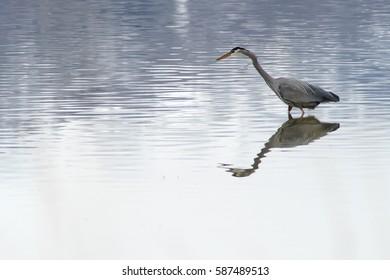Great Blue Heron at Great Salt Lake near Salt Lake City, Utah USA