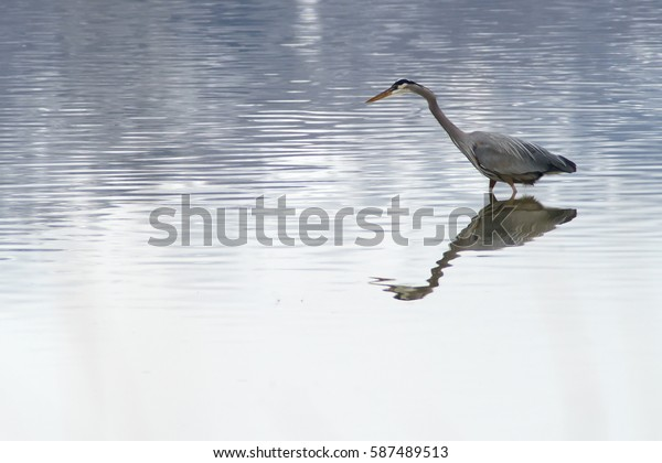 Great Blue Heron at Great Salt Lake near Salt Lake City, Utah USA