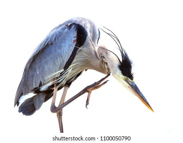 Great Blue Heron Scratching and Preening on White