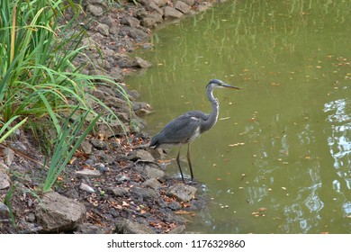 Great Blue Heron in search of fresh food