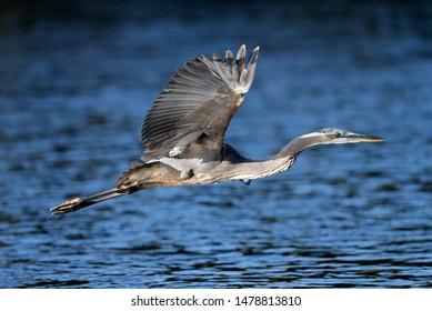 A Great Blue heron is seen in Arizona