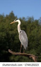 Great blue heron sits on a branch, Netherlands
