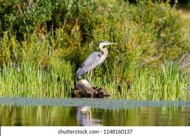 A Great Blue Heron sitting and flying.