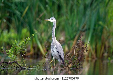 Great Blue Heron is sitting on a branch near the Diependal Hut in Oranje, the Netherlands