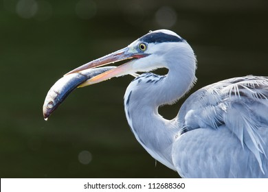 Great blue heron spears a fish, Holland