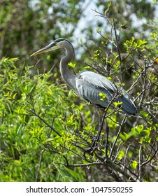A Great Blue Heron spotted at Shark Valley, Everglades National Park