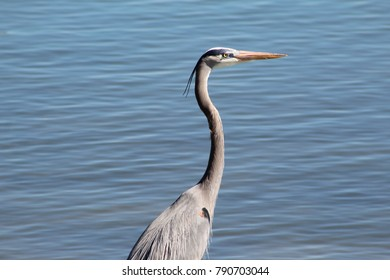 Great blue heron standing by the water