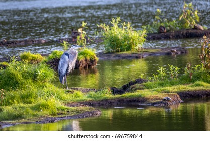 Great Blue Heron standing in the grass on an island on a sunny day in the Chesapeake Bay in Maryland