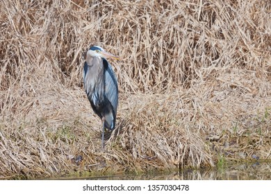 A great blue heron standing on one leg in a sea of bulrush. At the edge of the shore, it's large yellow beak swung sideways opposite its blue body, it focuses on a recent splash.