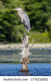 Great Blue Heron standing on stump in pond in the morning sun