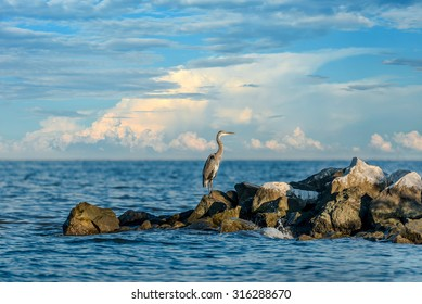 Great Blue Heron standing on a jetty over looking the Chesapeake Bay in Maryland