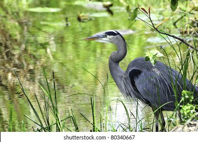 A great blue heron standing on the edge of a swamp
