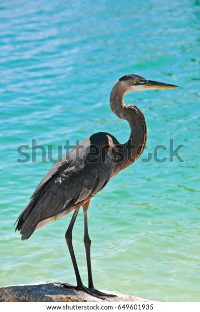 great-blue-heron-standing-on-600w-649601