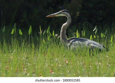 Great blue heron standing in tall grass.