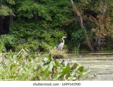 """A Great Blue Heron stands on a tiny """"island"""" in the Marsh of the Nashua River Watershed"""