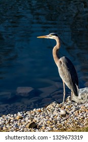 A great blue heron stands perched on the edge of a pond reflecting a deep blue sky.