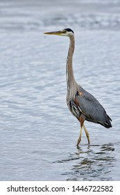 Great blue heron stands tall in a tide pool in Witty's Lagoon, Vancouver Island, British Columbia.