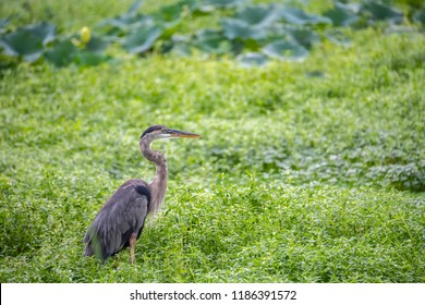 A Great Blue Heron surrounded by Florida greenery at Sweetwater Wetlands Park, Gainesville, Florida