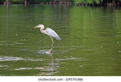 Great blue heron swallowing a fish - Reelfoot Lake State Park, Tennessee