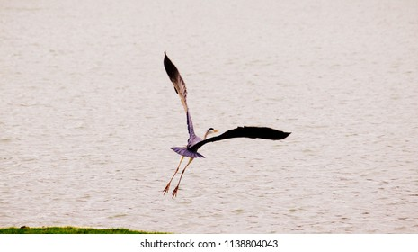 Great blue heron taking off with the wings fully open and a clear blue coloration visible on the back feathers