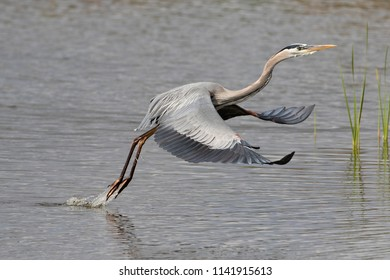 Great Blue Heron taking off from wetland