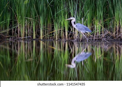Great Blue Heron.  This beautiful bird hunts with his reflection in the water along the banks of the South River in Edgewater, Maryland.