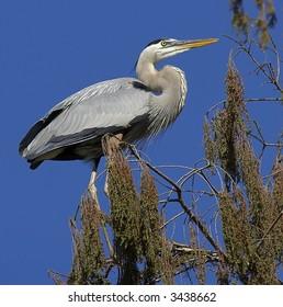 Great Blue Heron in tree.