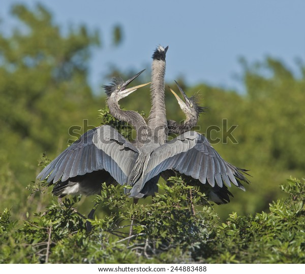 great-blue-heron-two-chicks-600w-2448834