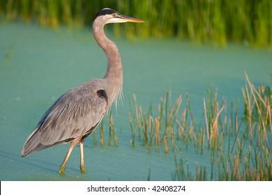great blue heron wades in florida wetland swamp