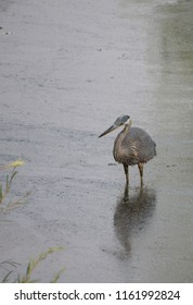 Great Blue Heron wading in deep, gray water concentrating on catching a fish. Shallow depth of field. Image has copy space.