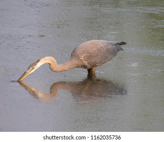 Great Blue Heron wading in deep, gray water with its beak in the water to catch a fish. Facing left.