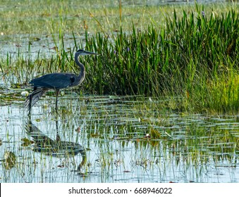 A great blue heron wading in a Florida swamp with its left wing extended down making an angle with its reflection in the water
