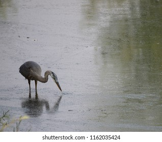 Great Blue Heron wading in green water concentrating on catching a fish. Shallow depth of field. Image has copy space.